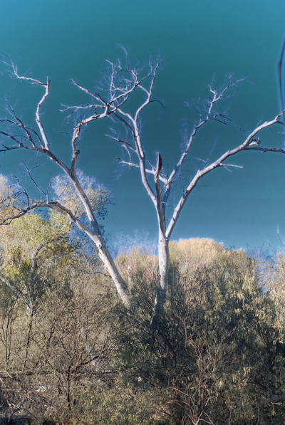 deserttree