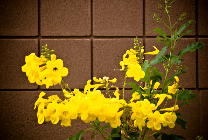 yellow trumpets-120081003.jpg