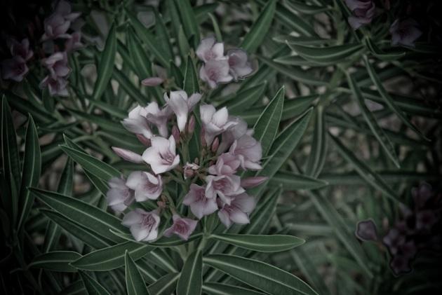 oleander-120081003