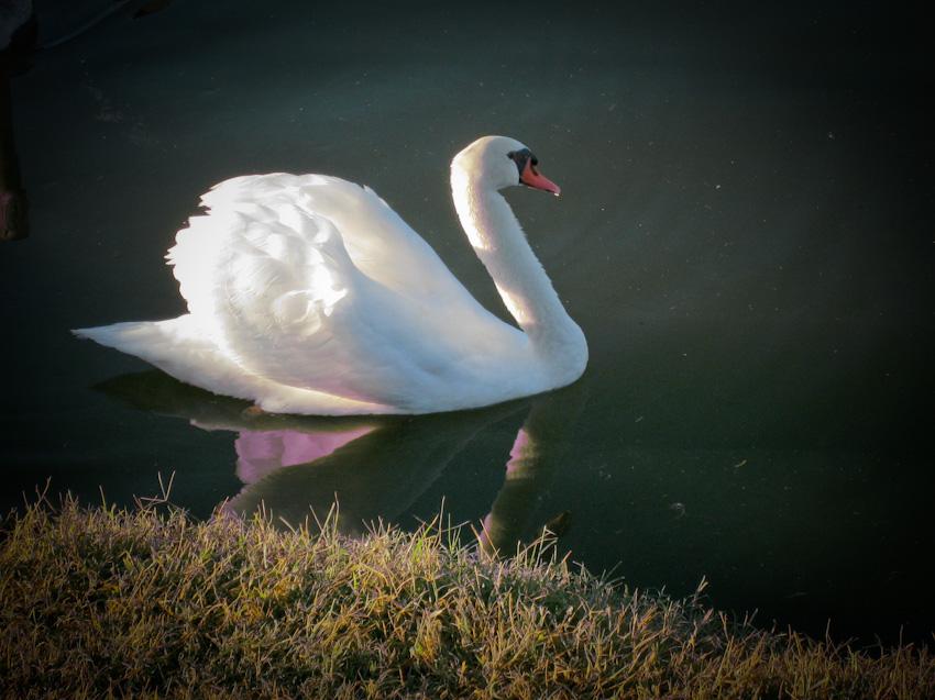 swan-120071005.jpg